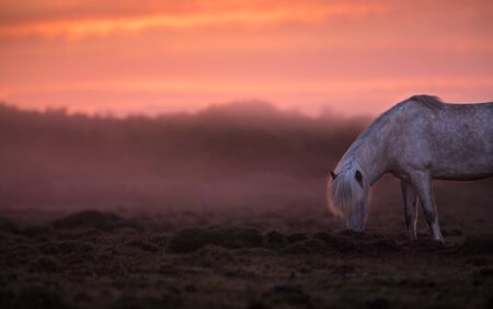 Icelandic horse in the field during sunset, scenic nature landscape of Iceland.