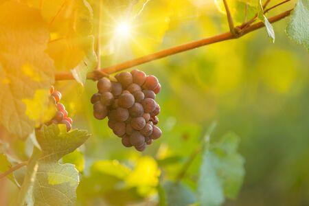 Grappe de raisin sur un vignoble au coucher du soleil. Banque d'images