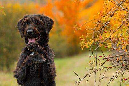 Black mutt dog posing in autumn park.