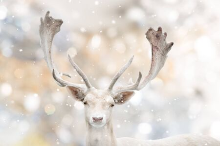 Portrait of white fallow deer in winter time.