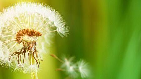 Macro Shot of Dandelion being blown in super slow motion. Standard-Bild - 145913750