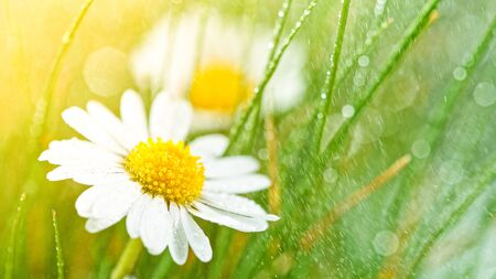 Chamomile flower ( bellis perennis )with drops of water on the green background. Standard-Bild - 145913736