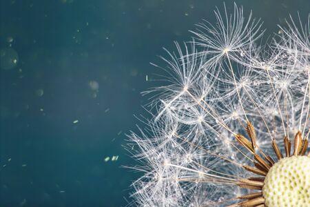 Close-up dandelion head