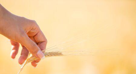 A wheat field, fresh crop of wheat with womans hand Zdjęcie Seryjne