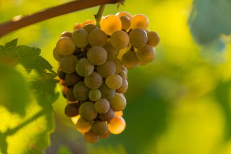 White grapes ready to be harvested at a vineyard.