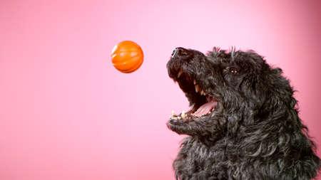 Freeze Motion shoot of black standard poodle catching small ball Standard-Bild