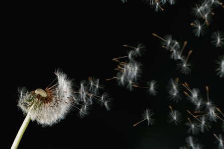 Macro Shot of Dandelion Seeds Being Blown