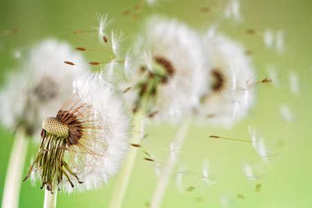 Macro Shot of Dandelion Seeds Being Blown Zdjęcie Seryjne