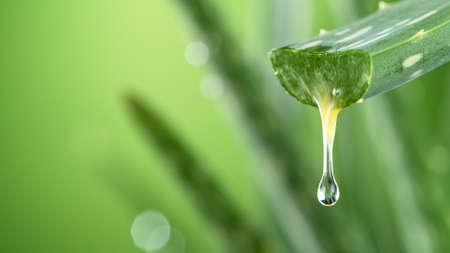 Aloe Vera leaf leaf with dripping beneficial liquid.