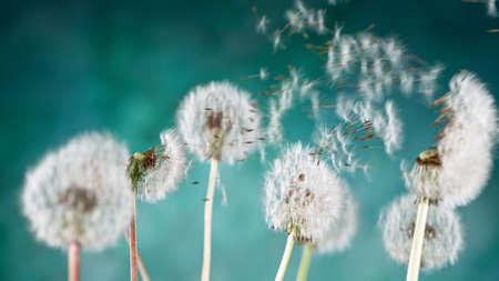 Macro Shot of Dandelion Seeds Being Blown Standard-Bild