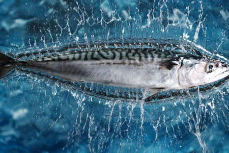 Falling Fresh Mackerel into water