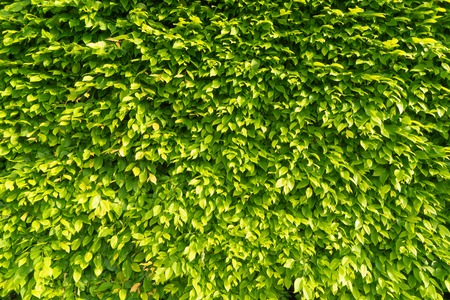 Wall hedge of green leaves in the rays of the bright morning sun. Creative vintage natural background Zdjęcie Seryjne