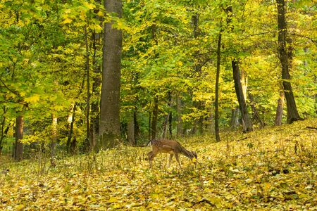 Autumn landscape. Trees with yellow, orange and red leaves. Golden autumn. Deer in the forest