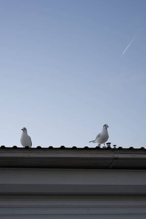 Sea gulls are sitting on the roof of the house. Early autumn morning. Blue sky and airplane in the distance. Standard-Bild