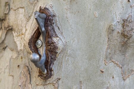 Tree trunk Platan. A metal hook bolted to a tree and ingrown into it. Human harm to wildlife