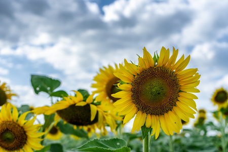 Yellow sunflowers in the fields of agriculture on a cloudy day Clouds on the sky