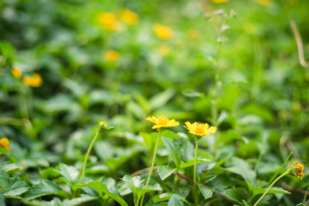 Two yellow daisies on a green pasture in nature in summer in a garden with colorful light top.