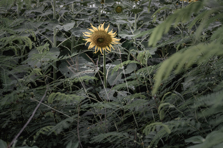 Yellow sunflowers stand alone in the dark amidst the green jungle. 写真素材