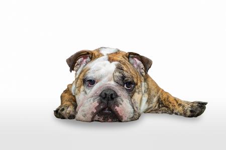 Young english bulldog sleeping isolated on white background