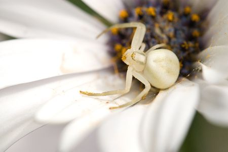 flower crab spider: A Flower Crab Spider sits in a flower guarding the web.