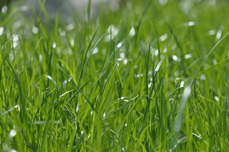 Summer fresh bright green grass. Spring background with a green lawn for design, wallpaper, desktop. Macro of green grass in a defocus at a close distance. Blurred background, bokeh. Photo of grass Banco de Imagens
