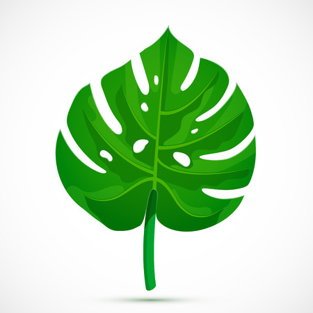 Monstera leaf. Tropical plant isolated on white background. Flat style botanical vector illustration Banque d'images - 121428414