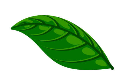 Fresh green basil leaf isolated on white. Flat natural fresh food herb leaves, cooking ingredient for pizza, pasta, pesto sauce. Vector illustration for web, menu, app, print