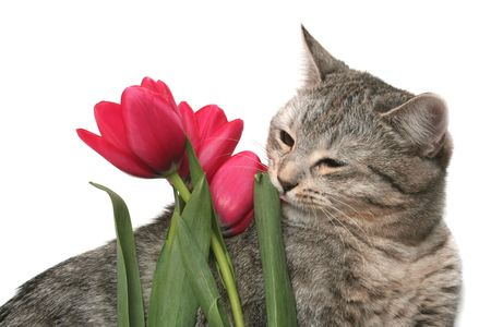 The grey cat plays with red tulips photo