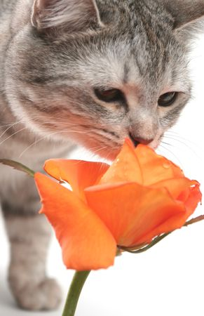 Sight of a grey cat and orange rose photo