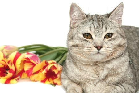 Sight of a grey cat with red tulips photo