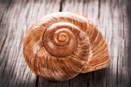 edible snail: Helix pomatia, common names the Burgundy snail, Roman snail, edible snail or escargot