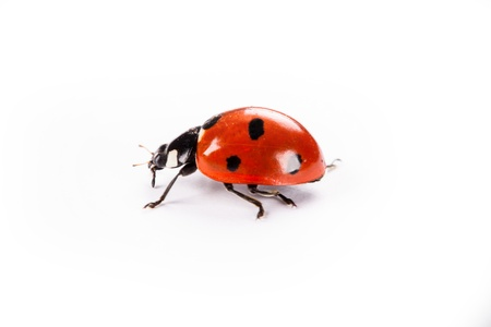 ladybug on a white background