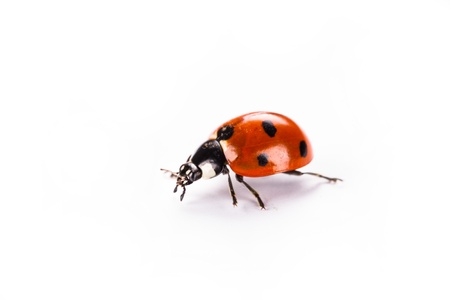 ladybug on a white background photo
