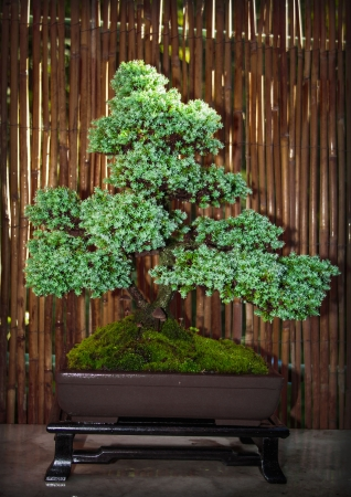 bonsai tree in a bowl photo