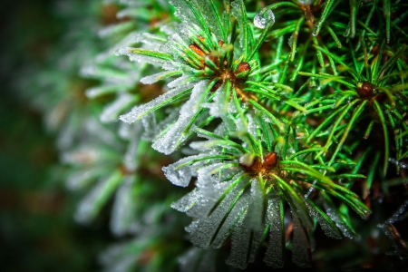 picea: Picea abies Stock Photo