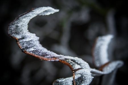 Salix matsudana Stock Photo - 24633414