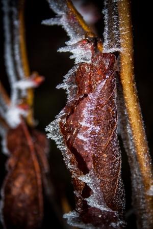 hamamelis: Hamamelis japonica