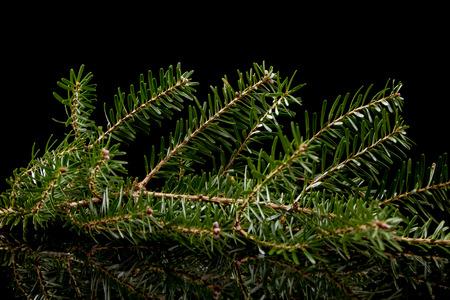 fir twig: fir twig on a black background Stock Photo