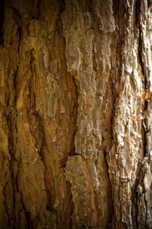 pinus sylvestris: Pine bark texture