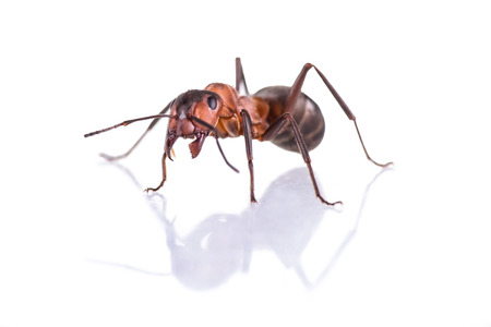 formica: red ant formica rufa on white background Stock Photo
