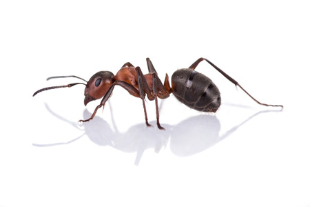red ant formica rufa on white background 版權商用圖片