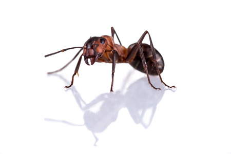 rufa: red ant formica rufa on white background Stock Photo
