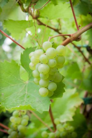 grape vines: Grape vines in the vineyard