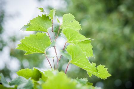 hojas parra: hojas de vid en el fondo la naturaleza