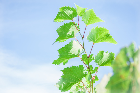 hojas parra: vine leaves on nature background Foto de archivo