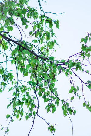 betula pendula: Betula pendula