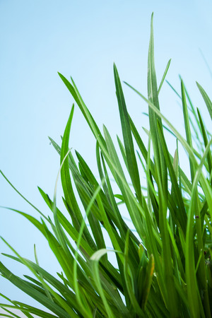 grassy plot: great detail leaf grass on a blue background