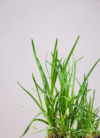 grassy plot: leaf grass dewy drops on a gray background Stock Photo