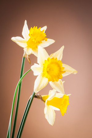 flower narcissus Stock Photo