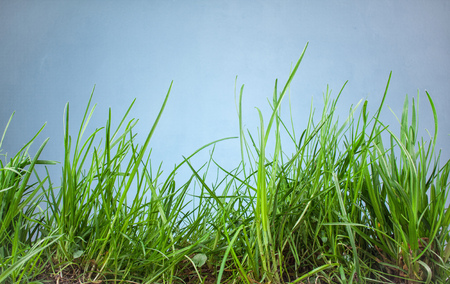 sunligh: leaf grass on a blue background Stock Photo